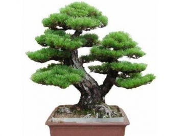 Japán PINE TREE Bonsai mag