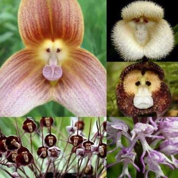Semințe de orhidee maimuță- 20 semințe