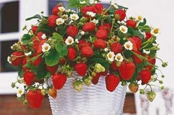 Semințe de căpșuni pentru ghiveci (200 de semințe)