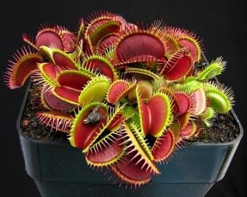 Set 20 semințe de Dionaea muscipula